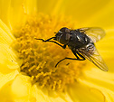 [Gold] - macro, yellow flower, fly