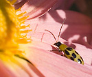 [Congregation] - pink, flower, macro, spotted beetle