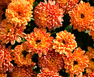 [Orange ball] - orange flowers, tight ball, autumn