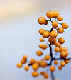 [Gold and slate] - autumn, yellow, berries, lake, bokeh, smooth
