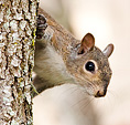 [Peeking Squirrel] - USF, tampa, squirrel, tree