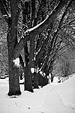 [Snowy sidewalk] - shoveled sidewalk, snow, covered, trees, black and white