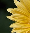 [Pale yellow flower] -