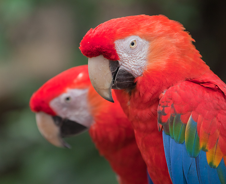 Scarlet Macaws: