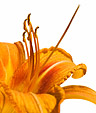 [Day Lily] - day lily, orange, flower, white background