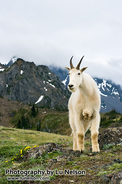 Mountain goat and clouds: Taken in the Buckhorn Wilderness in Olympic National Forest, Washington state.