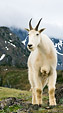 [Mountain goat and clouds] - mountain goat, cloudy mountains, meadow