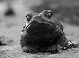 [A grumpy day] - frog statue, black and white, monochrome